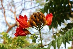 Дерево тюльпана Africom Стоковая Фотография