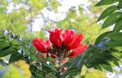 Дерево тюльпана Africom Стоковое Изображение