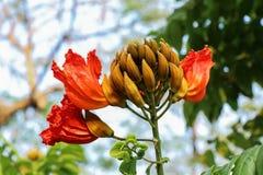 Дерево тюльпана Africom Стоковые Изображения RF