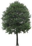 Дерево, дуб, заводы, природа, зеленый цвет, лето, густолиственное, растительность Стоковое Фото