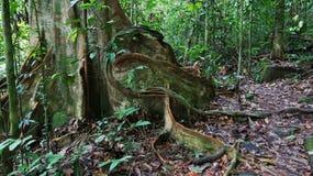 Дерево укореняет в тропическом лесе Стоковая Фотография