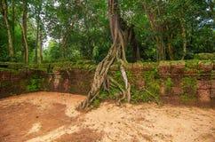 Дерево укореняет расти на здании в животиках Prohm руин, части комплекса виска кхмера Стоковое фото RF