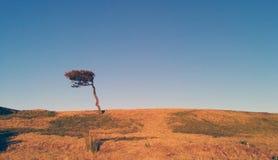 Дерево дунутое ветром Стоковое Изображение
