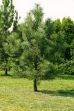 Дерево упорное к загрязнянному воздуху Молодое pinecone окруженное l стоковые фотографии rf