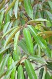 Дерево дуриана. Стоковое Изображение