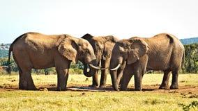Дерево лучшее после этого ОДНО - слон Буша африканца Стоковое Изображение