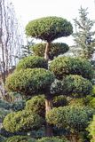 Дерево фигурной стрижки кустов высокого Taxus вечнозеленое coniferous в форме облаков Стоковая Фотография RF