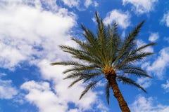 Дерево финиковой пальмы с небом в предпосылке Стоковая Фотография RF