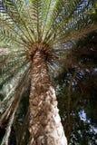 Дерево финиковой пальмы Канарских островов Стоковое Изображение RF