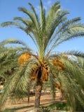 Дерево финиковой пальмы Стоковая Фотография