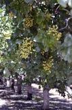 Дерево фисташки стоковое фото