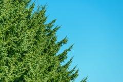 Дерево хвои Стоковая Фотография RF