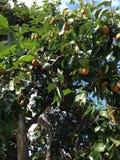 Дерево хурмы Стоковые Фотографии RF