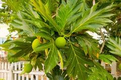 Дерево хлебных деревьев в Вест-Инди Стоковое Фото