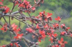 Дерево хлопка Стоковое Изображение RF