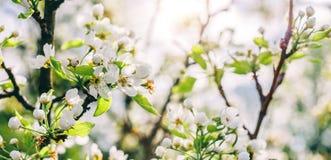 Дерево цветения над предпосылкой природы Красивая сцена природы с зацветая деревом, солнцем и снегом стоковые изображения