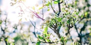 Дерево цветения над предпосылкой природы Красивая сцена природы с зацветая деревом, солнцем и снегом стоковая фотография rf