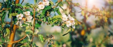 Дерево цветения над предпосылкой природы Красивая сцена природы с зацветая деревом, солнцем и снегом стоковые изображения rf