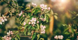 Дерево цветения над предпосылкой природы Красивая сцена природы с зацветая деревом, солнцем и снегом стоковая фотография