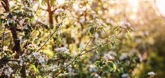 Дерево цветения над предпосылкой природы Красивая сцена природы с зацветая деревом, солнцем и снегом стоковые фото