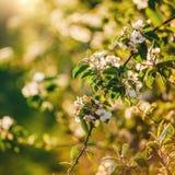 Дерево цветения над предпосылкой природы Красивая сцена природы с зацветая садом, солнцем и снегом стоковые изображения