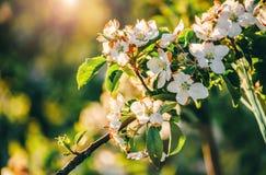 Дерево цветения над предпосылкой природы Красивая сцена природы с зацветая деревом, солнцем и снегом стоковое изображение rf