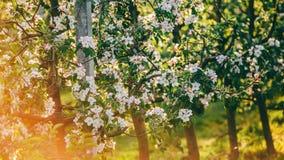 Дерево цветения над предпосылкой природы Красивая сцена природы с зацветая садом, солнцем и снегом стоковое фото