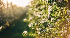 Дерево цветения над предпосылкой природы Красивая сцена природы с зацветая садом, солнцем и снегом стоковые фотографии rf