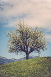 Дерево цветения на холме Стоковая Фотография