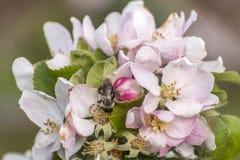 Дерево цветения Яблока путает цветок пчелы меда собирая makro крупного плана цветня Стоковое Изображение RF