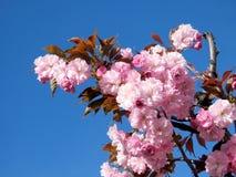 Дерево 2017 цветения Thornhill Сакуры Стоковая Фотография