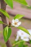 Дерево цветка груши на ветви Стоковые Изображения