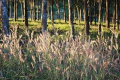 Дерево цветка и резиновых Стоковые Фотографии RF