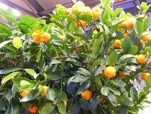 Дерево цитруса в баке на террасе, оранжевых tangerines на дереве стоковая фотография
