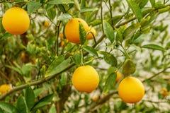 Дерево цитруса мандарина органическое и зеленые листья Плодоовощ мандарина естественных свежих продуктов и сладкого апельсина Стоковое Фото