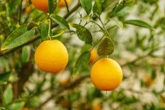 Дерево цитруса мандарина органическое и зеленые листья Плодоовощ мандарина естественных свежих продуктов и сладкого апельсина Стоковые Фотографии RF