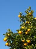 Дерево цитрусовых фруктов зрело стоковые фотографии rf