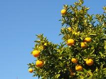 Дерево цитрусовых фруктов зрело стоковое фото rf