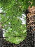 Дерево черного грецкого ореха Стоковые Изображения
