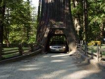 Дерево Чэндлера в лесе Redwood Калифорнии Стоковые Изображения RF