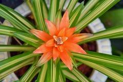 Дерево шелковицы ананаса стоковая фотография rf