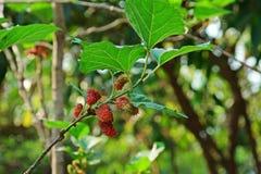 Дерево шелковицы, плодоовощ шелковицы Стоковое Фото