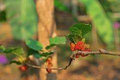 Дерево шелковицы, плодоовощ шелковицы Стоковая Фотография RF