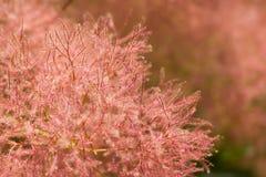 Дерево дыма с розовыми пушистыми цветками и красные хворостины закрывают вверх стоковое изображение rf