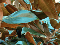 Дерево южной магнолии Стоковые Фотографии RF