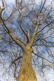 Дерево явора Стоковые Изображения