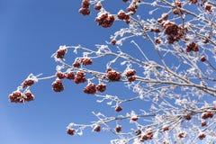 Дерево ягоды рябины Стоковое Изображение