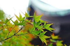 Дерево японского клена Momiji стоковое фото rf