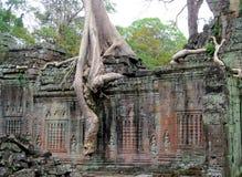 Дерево Ankgor Wat большое с огромным корнем Стоковое Фото
