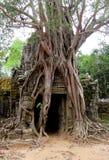 Дерево Ankgor Wat большое с огромным корнем Стоковые Изображения RF